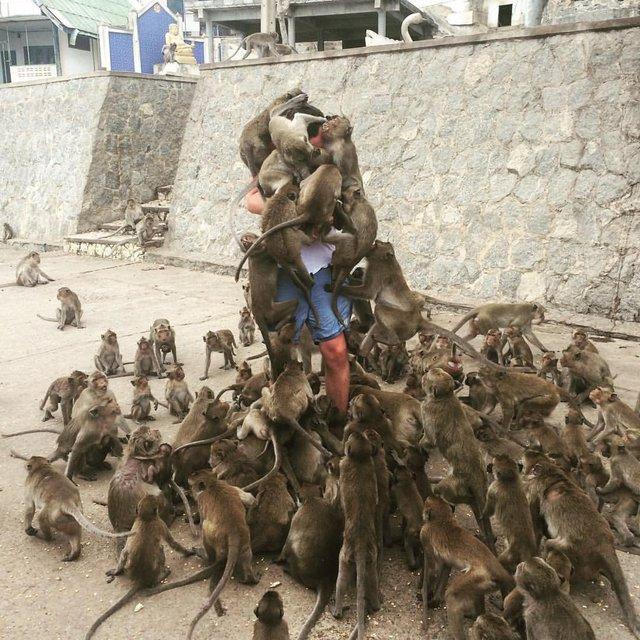 singes-qui-sautent-sur-homme