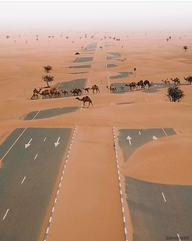 dromadaires-traverser-autoroute-desert
