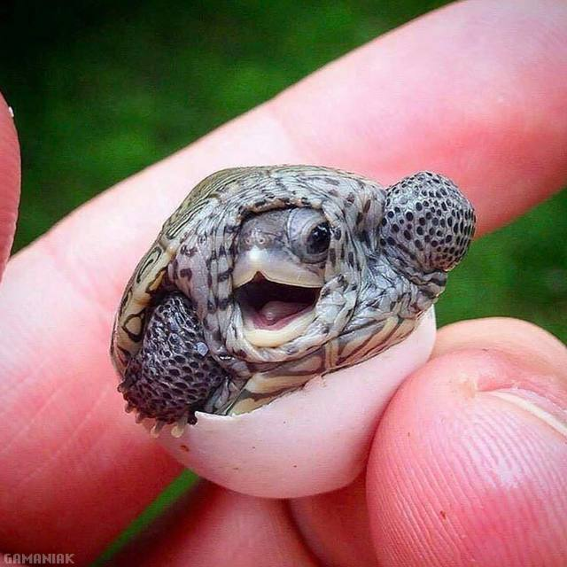 bebe-tortue-oeuf