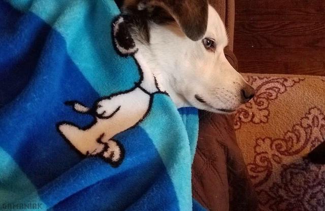 chien-snoopy-sous-couverture