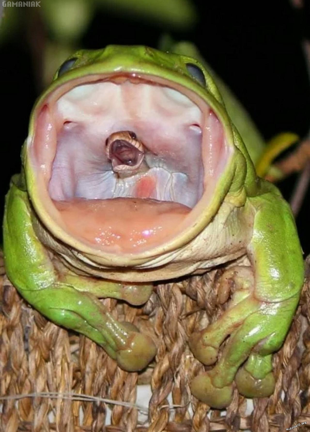 serpent-bouche-grenouille