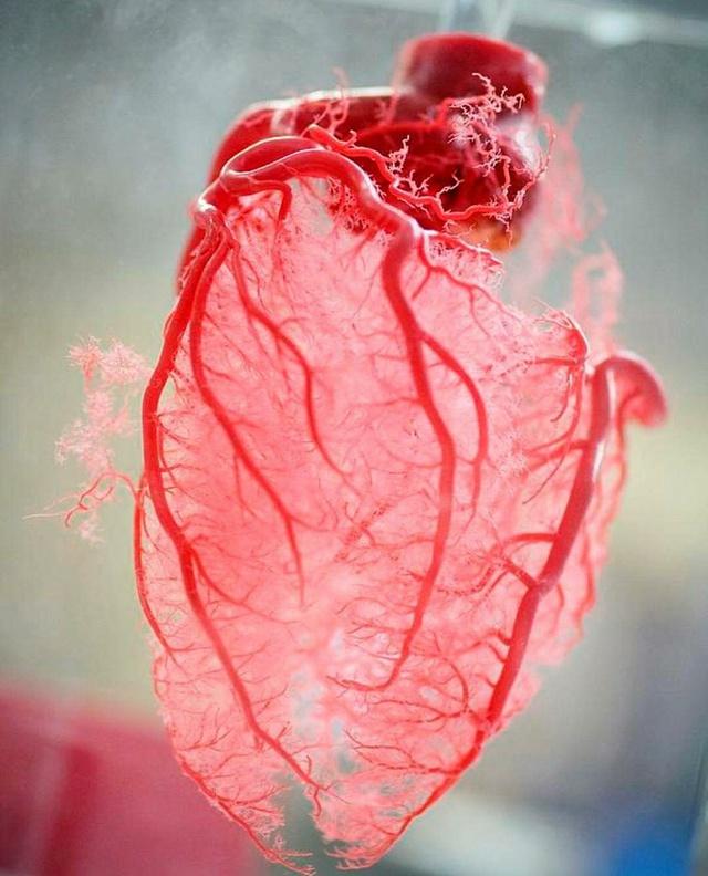 vaisseaux-sanguins-coeur
