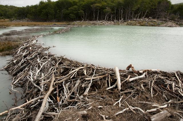 barrage-construit-castors