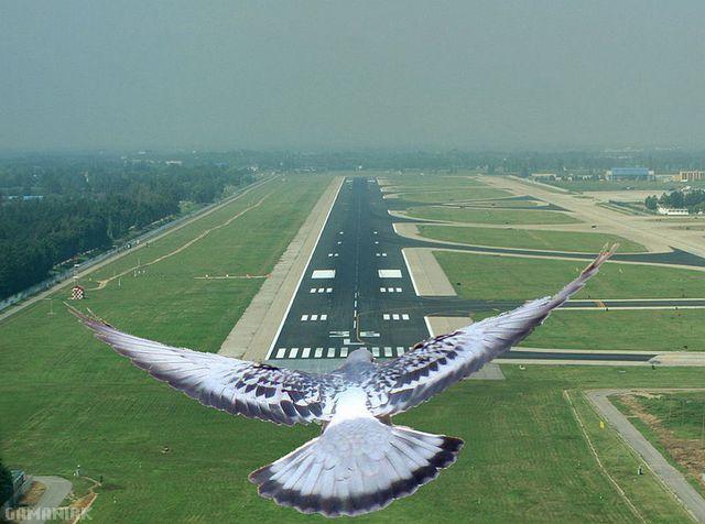 oiseau-descend-piste-atterrissage