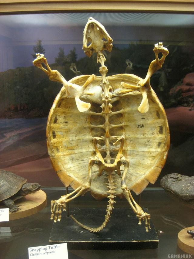 tortue-peut-pas-sortir-carapace