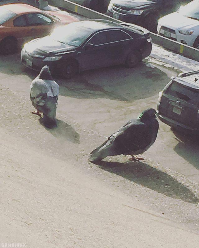 2-pigeons-chercher-voiture-parking