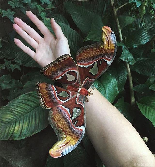 papillon-enorme