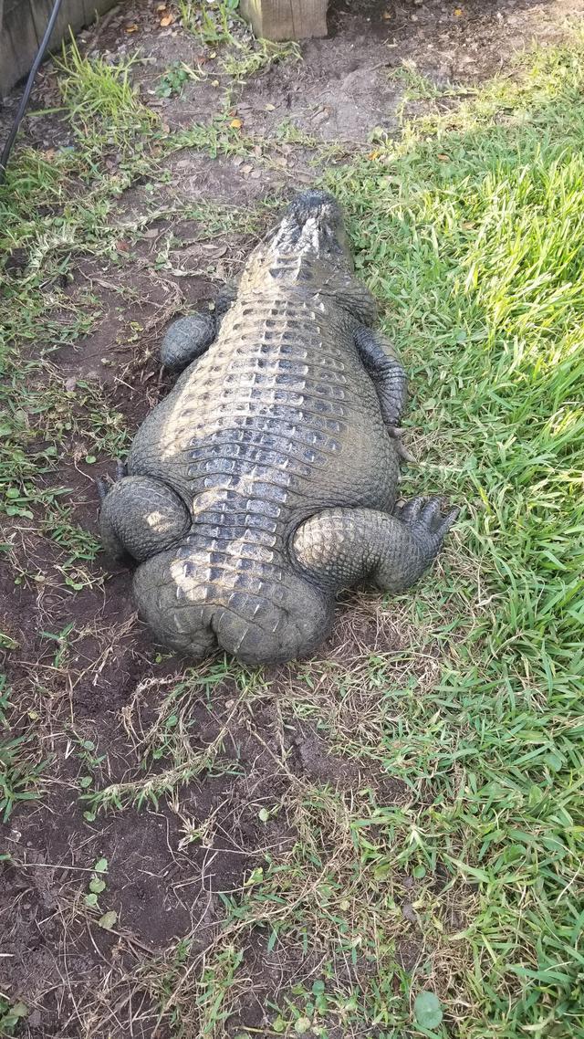 alligator-queue-coupee