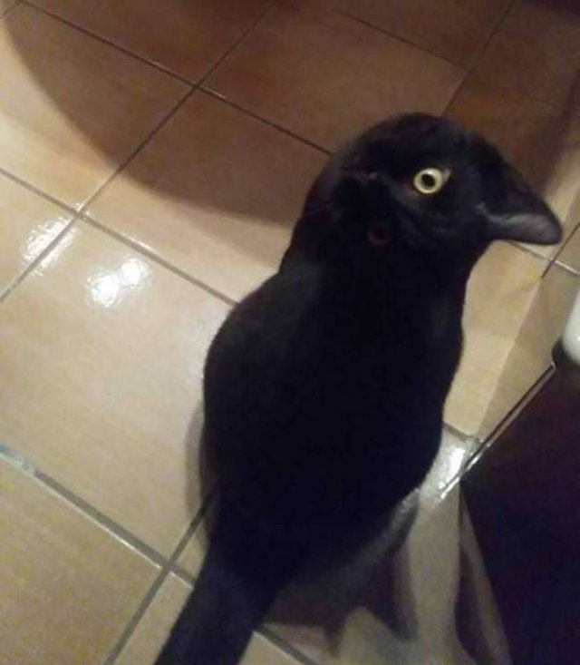 corbeau-chat