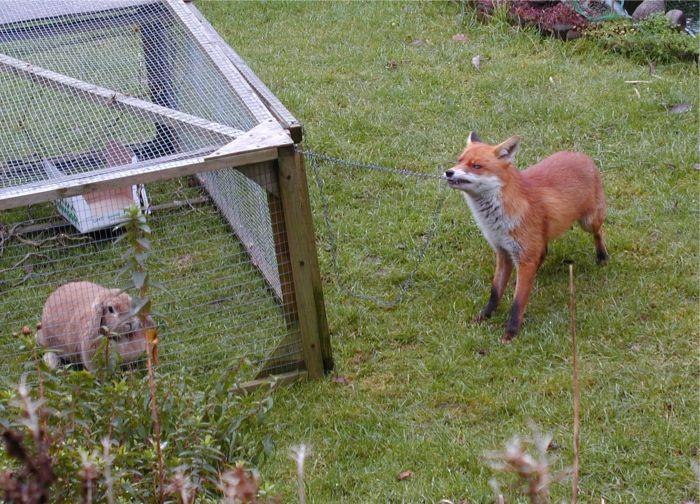 Renard qui tente d'ouvrir la cage du lapin pour le manger