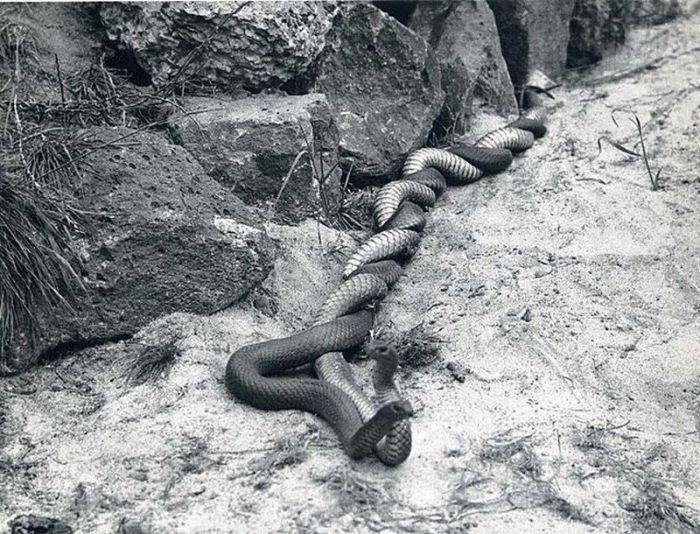 serpents-accouplent