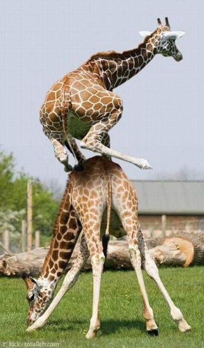 saute-girafe