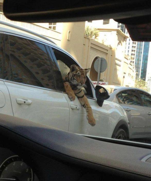 tigre-voiture-prend-lair