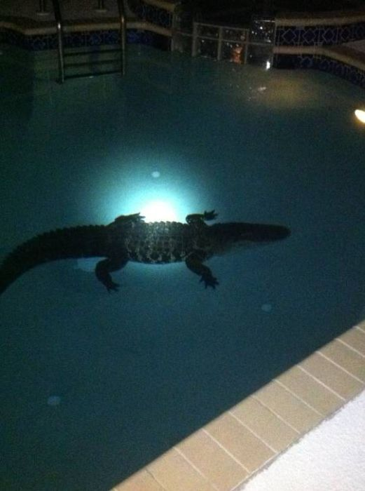 crocodile-dans-piscine