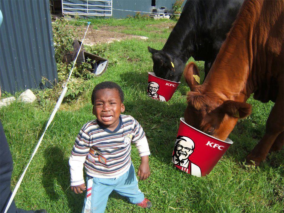 vaches-qui-mangent-kfc