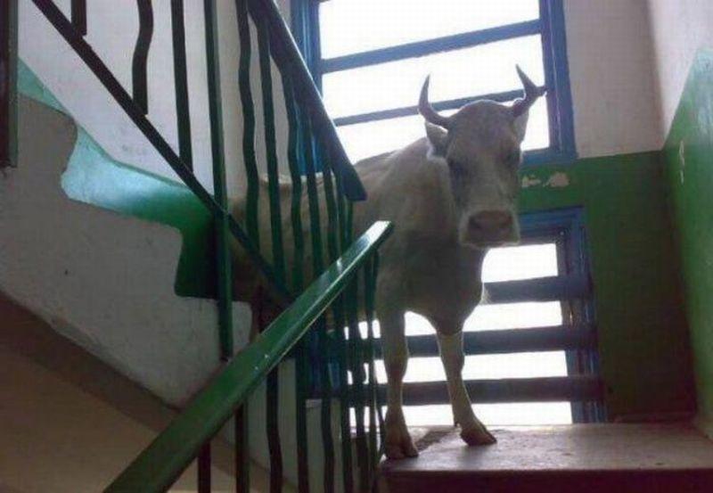 boeuf-dans-les-escaliers