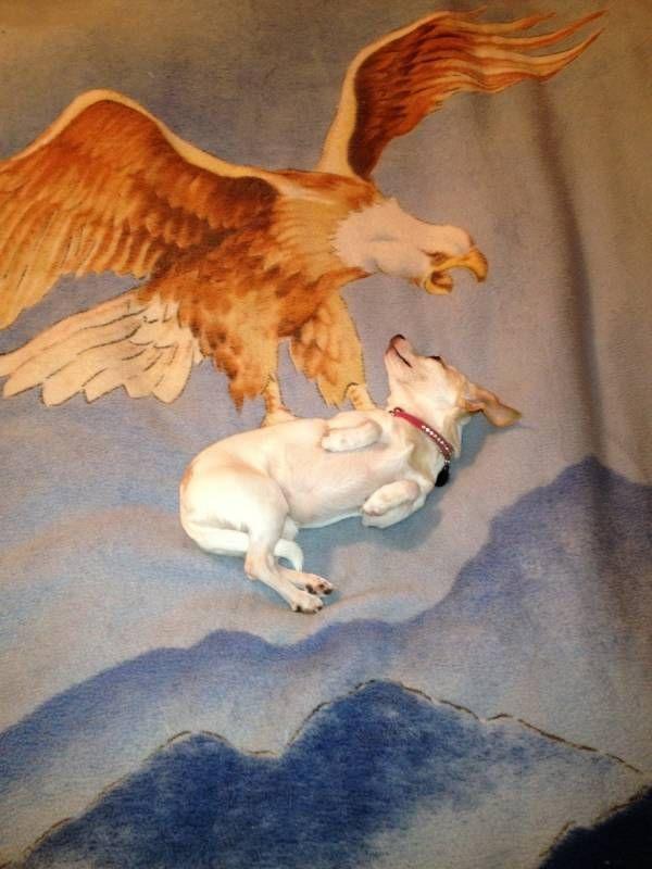 chien-attrape-par-aigle