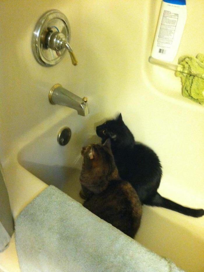 chats-qui-attendent-leau-dans-baignoire