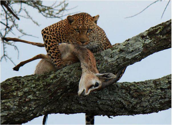 guepard-porte-chevreuil-sur-une-branche-darbre
