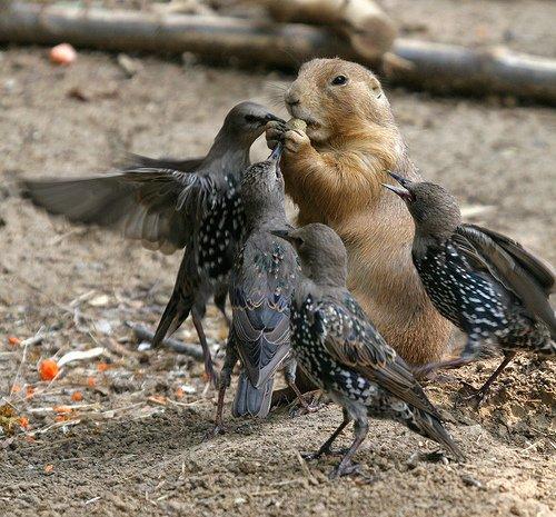 marmotte-cacahuete-oiseaux