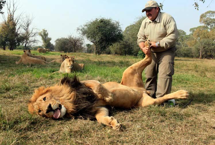 lion-qui-fait-masser-les-pattes