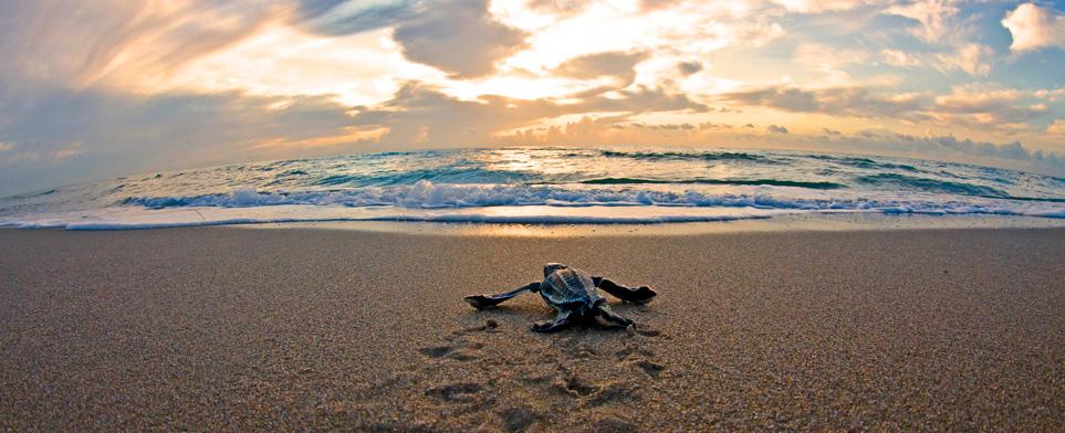 petite-tortue-face-mer