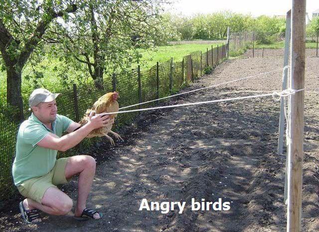 angry-birds-avec-une-poule