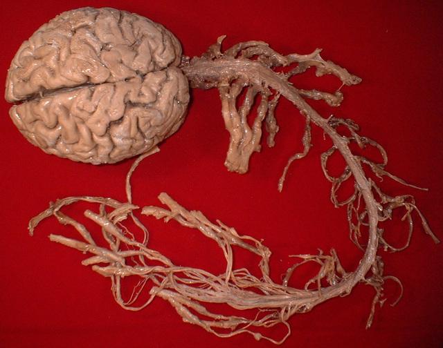 cerveau-nerfs