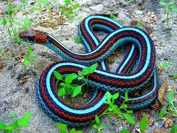 serpent-avec-plusieurs-couleurs