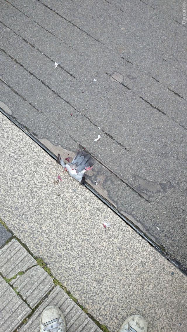pigeon-mort-fermeture-pont-levant