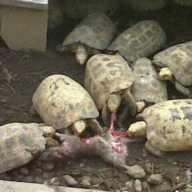 tortue-encore-gagne-contre-lievre