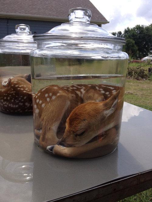 bambi-bocal