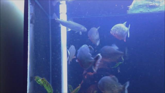 des piranhas mangent un poisson dans un aquarium