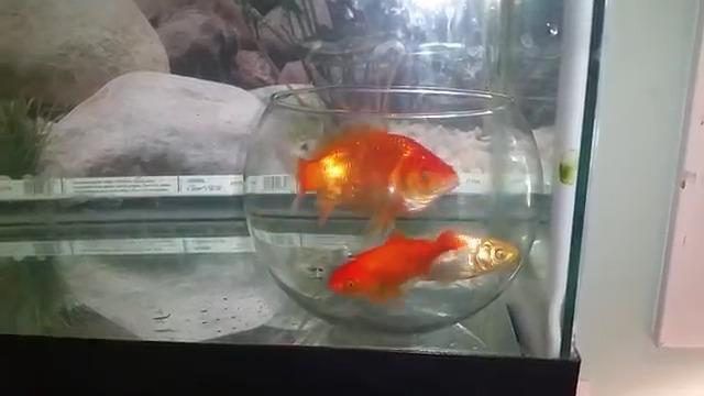 Des poissons coinc s dans un bocal dans un aquarium for Aquarium bocal poisson