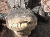 Cet alligator aime les caresses sous sa mâchoire