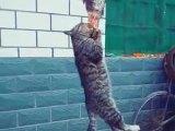 Un chat mange un poisson accroché en l'air