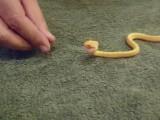 Un petit serpent avale un petit oeuf