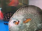 Une raie qui mange des poissons