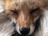 Vidéo d'un renard qui gémit